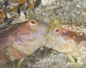 Blenny fight. Image part of a sequence that tells a story... by Ximena Olds