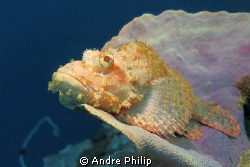 scorpionfish in wonderful pastell colours by Andre Philip