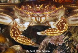 Cape Rock Crab by Peet Van Eeden