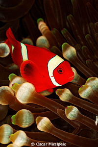 anemonfish  by Oscar Miralpeix