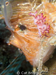 lovely flabellina being eyed by a lion taken on the wrec... by Cat Briggs
