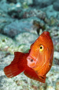 A Marmalade Razor Fish.  Only a few cm long and easily sp... by Paul Colley