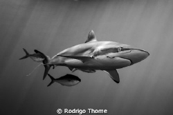 "Silky Shark in a new ""shark adventure"" developed by Stuar... by Rodrigo Thome"