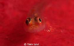 Goby on a soft coral Canon S100 with Epoque diopter by Yoav Lavi