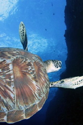 Green Turtle w/Tokina Fisheye (17mm) by Martin Dalsaso