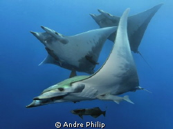 Troika - a close up meeting with a group of mobula rays by Andre Philip