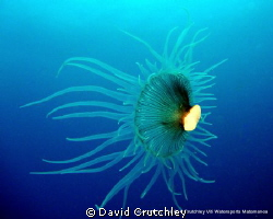 A Coralimorph found drifting along the substrate at 25m, ... by David Crutchley