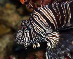 Lionfish. King of both the jungle and the sea. Indonesia by Michael Canzoniero