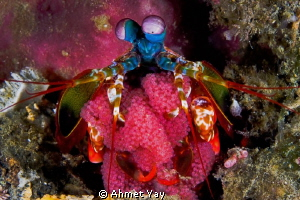 Mother Peacock Mantis Shrimp and her eggs...:) Canon 40 ... by Ahmet Yay