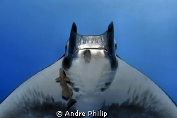 face to face with a mobula ray by Andre Philip