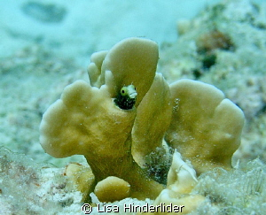 Spiny Head Blenny in his Penthouse! by Lisa Hinderlider