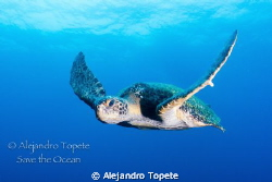 Great look of Me, Green Turtle Galapagos Canon 7D, 15 mm... by Alejandro Topete