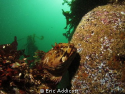Cabezon, taken freediving at 20' with Canon S95 in Recsea... by Eric Addicott