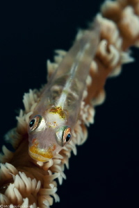 goby on a whip by Mathieu Foulquié