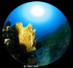 Yellow Frog Fish And Sun Canon S100, inon micro fisheye by Yoav Lavi