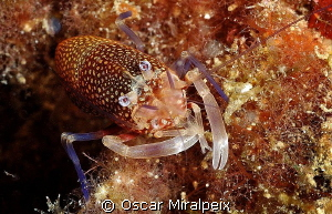 Bumble bee shrimp by Oscar Miralpeix