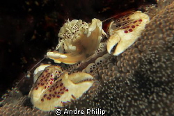 feeding porcelain crab by Andre Philip