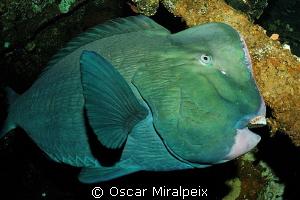Bumphead parrotfish  by Oscar Miralpeix