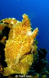 Yellow Frog Fish by Yoav Lavi