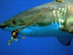 Great White Shark taken at Isle de Guadaloupe September 2... by Anna Kinnersly