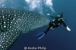 a diver will be run over of a whaleshark ;-) by Andre Philip