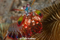 Mantus Shrimp by Todd Moseley