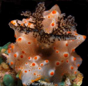 Batangus helgerda with it prominent dark gills by Marylin Batt