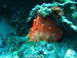 A nice red anemones out in Cebu Sea by Rita Hung