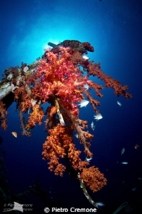 Soft corals on the Satil wreck by Pietro Cremone