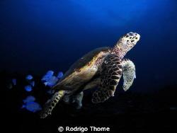 Turtle in Recife - Brasil. by Rodrigo Thome