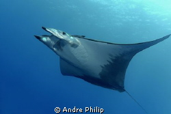 completed elegance - the flight of mobula by Andre Philip