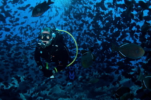 Biomass!  Thousands of Black Durgeons accompany a diver o... by Paul Colley