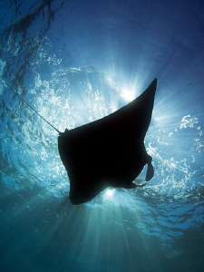 """""""Manta Silhouette"""" by Henry Jager"""