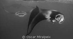 Mantas feeding by Oscar Miralpeix