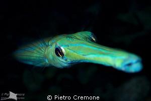 Pipefish portrait by Pietro Cremone