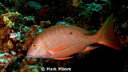 MAHOGONY SNAPPER GRAND CAYMAN by Mark Moore