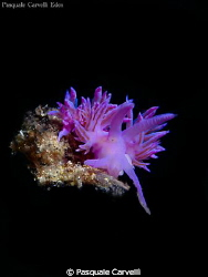 Flabellina by Pasquale Carvelli