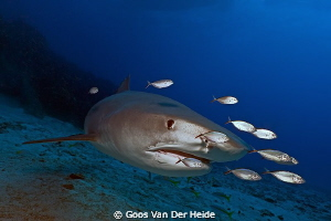 4 meter Tigershark passing by during a dive at Tiger Beac... by Goos Van Der Heide