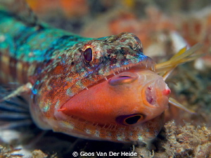 Lizzardfish catched a reeffish during a dive at the house... by Goos Van Der Heide