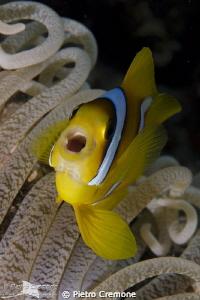 Yawning clownfish by Pietro Cremone
