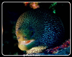 SPOTTED MORAY TAKEN ON ALICE IN WONDERLAND REEF CURACAO by Mark Moore