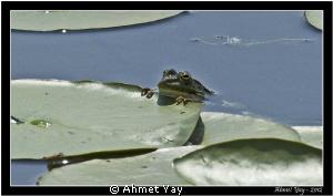 Frog. Acarlar Longozu - Sakarya - Türkiye Canon 1 D Mark... by Ahmet Yay