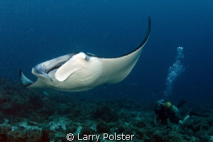 Manta mania in The Maldives.. 10 to 12 of these wonderful... by Larry Polster
