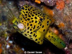 Kiss Me!  Yellow Boxfish taken at the Phi Phi Islands on... by Daniel Sasse