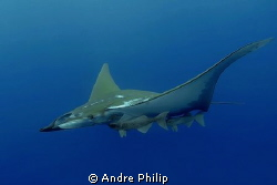 like a jet fighter - mobula with remoras by Andre Philip