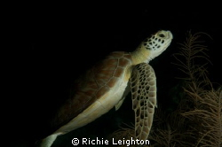 turtle posing for me by Richie Leighton