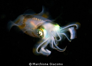 Fly Squid in the lembeh night Nikon D200 , 60 micro, tw... by Marchione Giacomo