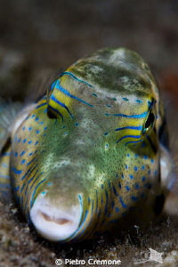 Puffer by Pietro Cremone
