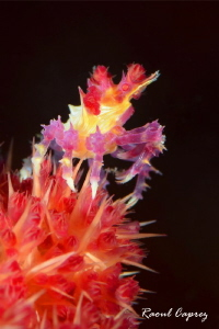 Tiny King of this coral by Raoul Caprez