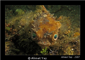 Puffer Fish...:) Canon A-710 - 2xYS-110  by Ahmet Yay